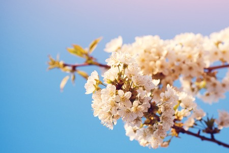 Blooming cherry tree in the garden. Banner background of spring white blooming. Beautiful cherry blossoms tree on blue sky. Copy space