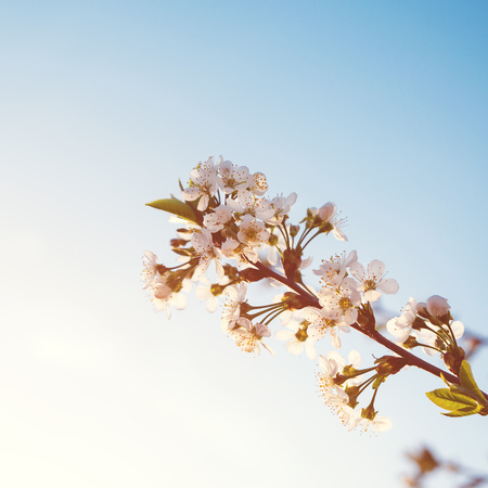 Spring blooming tree branch on blue sky. Spring flowers. Spring greeting card. Copy space. Фото со стока