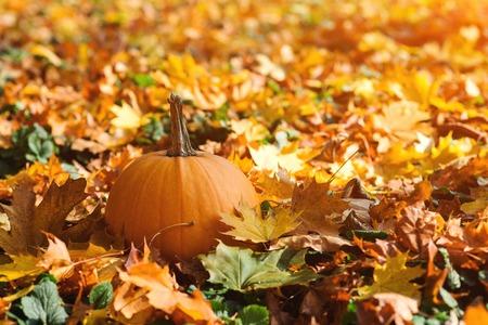 Orange ripe pumpkin amidst fallen leaves on a sunny day. Big pumpkin. Autumn weather. Thanksgiving Day. Autumn holiday. Autumn leaves background. Colorful falling leaves Фото со стока