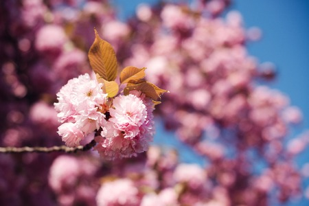 Spring Cherry blossoms, pink flowers close up. Sakura tree in park. Japan cherry tree in spring. Sakura blooming