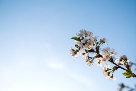 Branches of blossoming apricot on blue sky background. Easter and spring greeting cards concept. Copy space. Spring blooming tree branch Фото со стока