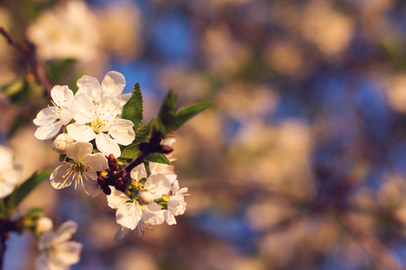 Spring tree blossoming. Cherry tree branch in spring blossom close-up. Flowers blooming at sunset. Copy space. Spring card. Tender sunset light Фото со стока