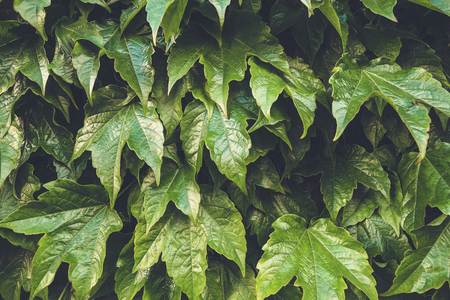 Fresh green leaves pattern background. Natural background and wallpaper. Фото со стока