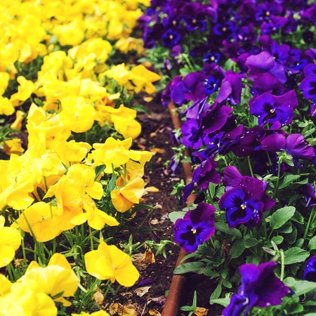 Flowerbed with purple and yellow petunias, close up. Colorful petunia flower Petunia hybrida in the garden Фото со стока