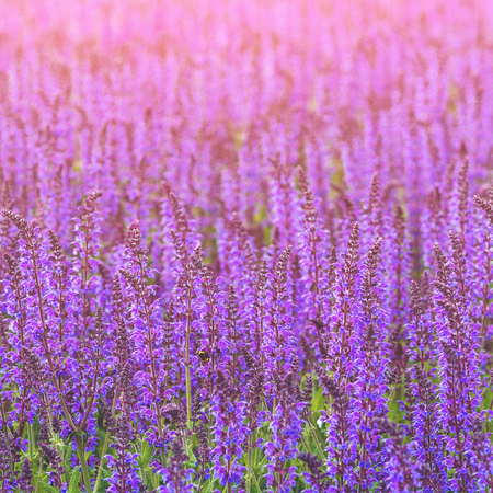 Close up photo with purple flowers. Summer season floral background. Beautiful violet flower bed