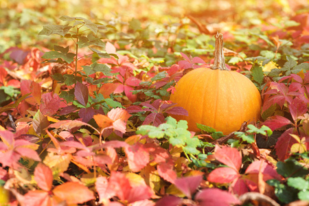 Autumn colorful leaves. Orange pumpkin. Autumn background. Fallen colorful leaves on ground. Autumn sunny day. Thanksgiving Day