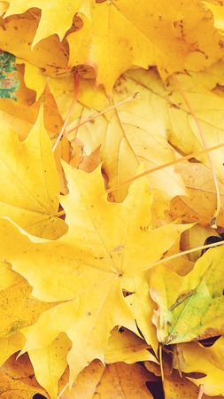 Autumn leaves. Autumn background. Fallen yellow maple leaves. Top view. Autumn card