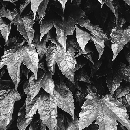 Green leaves background. Green leaves color tone dark after raining in the morning. Leaves in black and white. Nature leaves background.