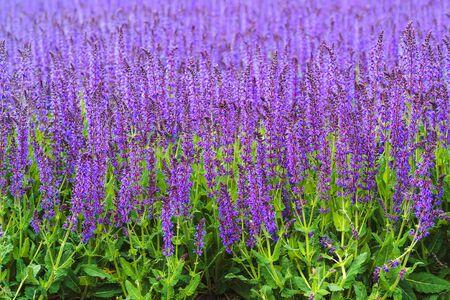 Violet flower background. Blooming in spring close-up.