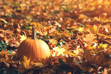 Orange ripe pumpkin amidst fallen leaves on a sunny day. Big pumpkin. Autumn weather. Thanksgiving Day. Autumn holiday. Autumn leaves background. Colorful falling leaves Stock Photo