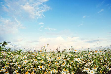 Daisy flowers field. White daisies on blue sky background. Beautiful nature landscape. Wildflowers background. Chamomile field flowers. Banque d'images