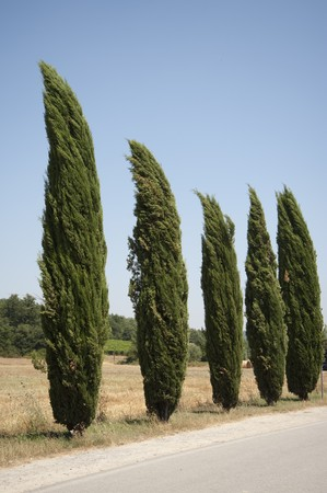 cypress in tuscany, italy Stock Photo - 7520387