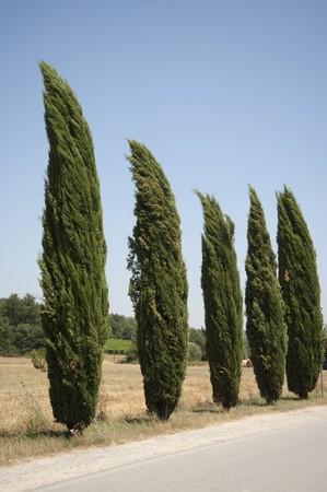 cypress in tuscany, italy photo