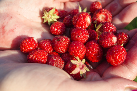 collected: collected strawberries in the hands