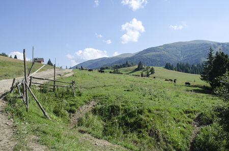 herd of cows grazing on a beautiful meadow of the Ukrainian Carpathians
