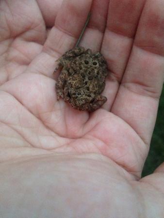 捕まえた小型ヒキガエル。 写真素材