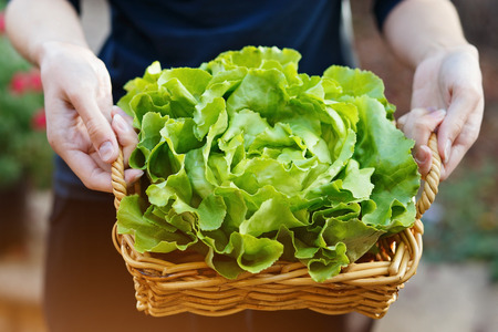 Hands holding woven basket with head of organic butter lettuce. Outdoor, selective focus