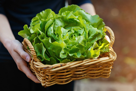 lactuca: Hands holding woven basket with head of organic butter lettuce. Outdoor, selective focus