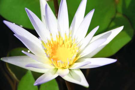 White lotus photo
