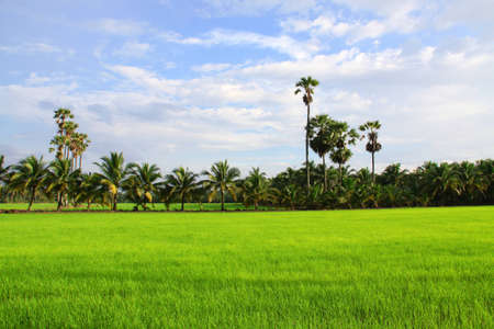Green rice field and Blue sky Stock Photo - 9769994
