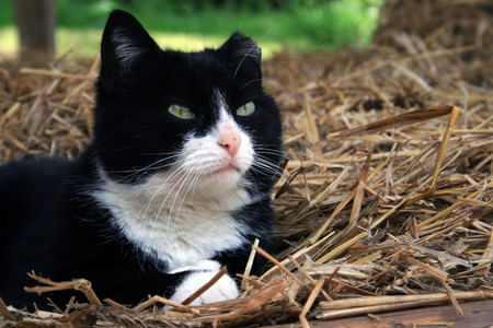 felix: Black and white barn cat Stock Photo