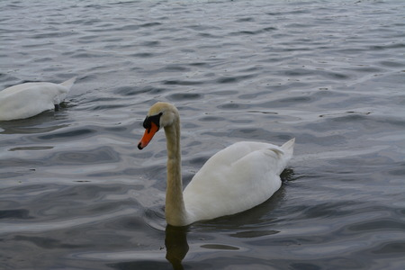 withe: Beautiful Swan withe