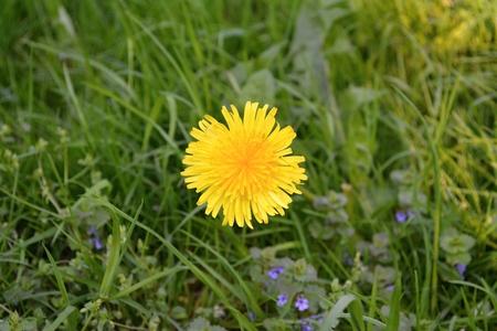 homoeopathic: Dandelion