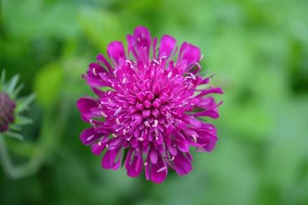 lilla: flower lilla Stock Photo