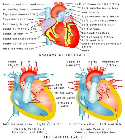 心臓解剖学の心、心周期拡張期心室弛緩および充填心収縮期心室の収縮と放出  イラスト・ベクター素材