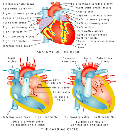 Heart  Anatomy of the Heart  The Cardiac Cycle  Diastole Ventricular Relaxation and Filling  Systole Ventricular Contraction and Ejection