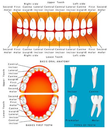 Anatomie Der Zähne. Adult Zähne Anatomie, Zahn Titeln. Tooth ...