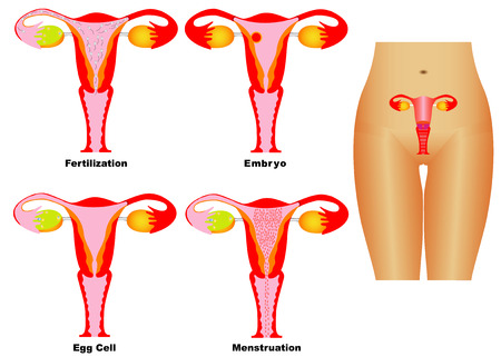 female reproductive organ: Female Reproductive System  Reproductive system of women on white background  Ovulation and Menstruation  Fertilization and pregnancy   Illustration