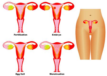 sistema reproductor femenino: Sistema Sistema reproductor femenino reproductiva de las mujeres en el fondo blanco de la ovulaci�n y la menstruaci�n La fertilizaci�n y el embarazo