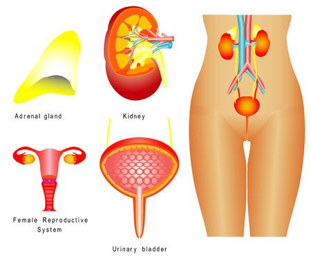 urinario: Sistema urinario femminile sistema urinario, sistema riproduttivo su sfondo bianco