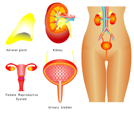 Urinary system  Female urinary system, reproductive system on white background