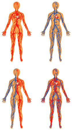 blood circulation: Human vascular system of Female