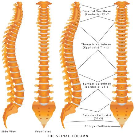 zuilen: De wervelkolom. De Spinal Column Diagram. Menselijke wervelkolom van de zijkant en achterzijde met tussenwervelschijven gemarkeerd. Wervelkolom - inclusief Vertebra Groepen (hals-, borst-, lenden, Sacrale) Stock Illustratie