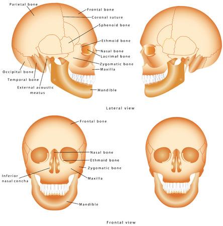 정면: 인간의 두개골 구조. 해골 해부학 라벨. 흰색 배경에 고립 된 인간의 두개골의 의료 모델. 인간의 두개골의 측면과 정면보기