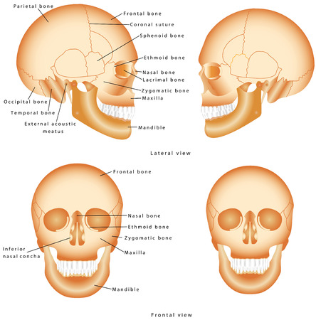 Human Skull structure. Skull anatomy labeling. Medical model of a human skull isolated against a white background. Lateral and Frontal view of Human Skull Ilustração