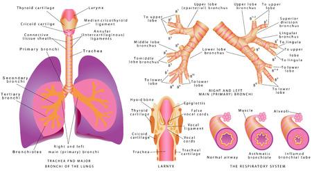 Luchtwegen. Menselijke luchtpijp en de bronchiën, het strottenhoofd. Luchtpijp en de grote bronchiën van de longen. Ringen en links hoofdbronchi. Stock Illustratie