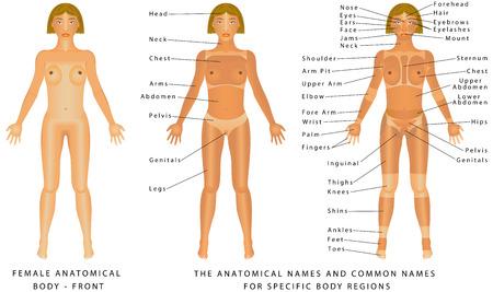corpo umano: Corpo femminile - Front, anatomia di superficie, le forme del corpo umano, vista anteriore, parti del corpo umano, anatomia generale. I nomi anatomiche e corrispondenti nomi comuni sono indicati per le regioni specifiche del corpo Vettoriali