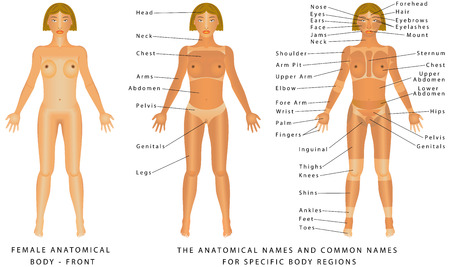 Female body - Front, surface anatomy, human body shapes, anterior view, parts of human body, general anatomy. The anatomical names and corresponding common names are indicated for specific body regions Ilustração