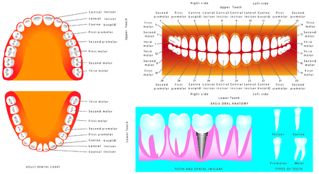 mouths: Anatomy of teeth. Adult Teeth anatomy, dental titles. Tooth human implant. Illustration for dentistry and orthodontics, for basic medical education, for clinics Schools
