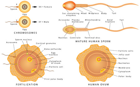 Conception ovum and sperm. Mature human sperm. Human ovum - female egg. Fertilization is the union of an ovum and a spermatozoon. A chromosome with genes that affect sexual traits.