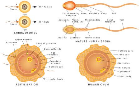 La Estructura De La Célula De Esperma Cartel Médico