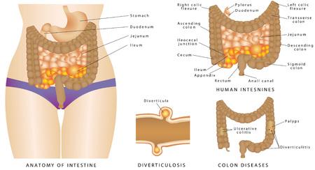 anatomia: Anatomía del intestino. Anatomía de los intestinos humanos. Grande y del intestino delgado. Enfermedades del colon. Vectores
