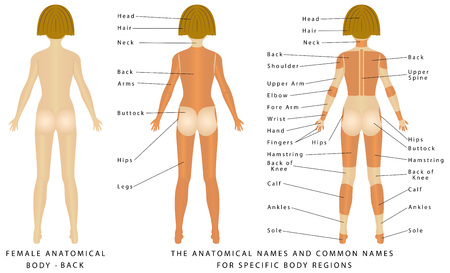 Female body - Back, surface anatomy, human body shapes, anterior view, parts of human body, general anatomy. The anatomical names and corresponding common names are indicated for specific body regions