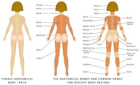 cuerpo femenino: cuerpo femenino - De nuevo, anatom�a de superficie, formas del cuerpo humano, vista anterior, las partes del cuerpo humano, anatom�a general. Los nombres anat�micos y nombres comunes correspondientes est�n indicados para regiones espec�ficas del cuerpo