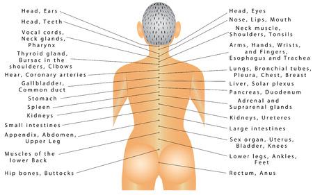 sistema nervioso central: Spine - correlación de órganos. La columna vertebral está conectado con todos los órganos y puede causar dolor en diferentes partes del cuerpo. Sistema nervioso autónomo, la inervación de los órganos internos