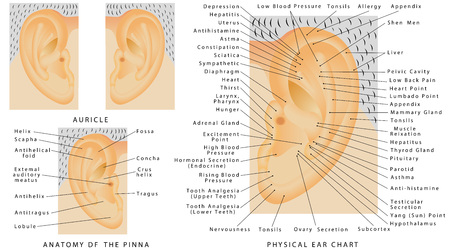 ears: Auricle. Human ear - Pina. Anatomy of the Pina. Physical Ear Chart. Male and female ear on white background.